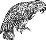 African Gray Sml