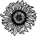 Sunflower head Med