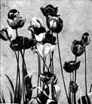 Tulips Engraving